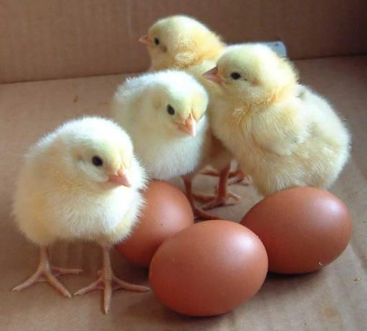 baby chicks2