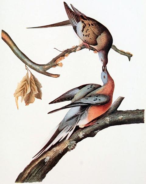 Passenger Pigeon - Audubon