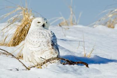 Greg Lessard- snowy owl