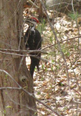 Pileated - 1