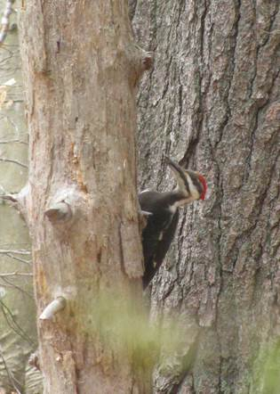 Pileated - 2