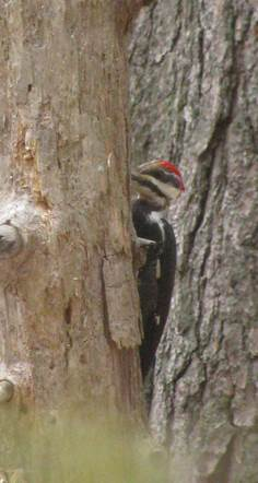 Pileated - 3